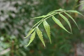 File:Neem leaves Neem Leaves.jpg - Wikimedia Commons